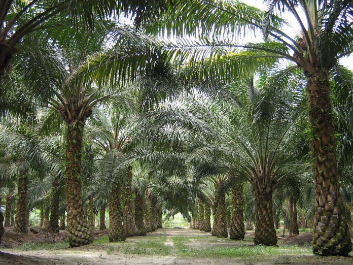 Плантация масличных пальм