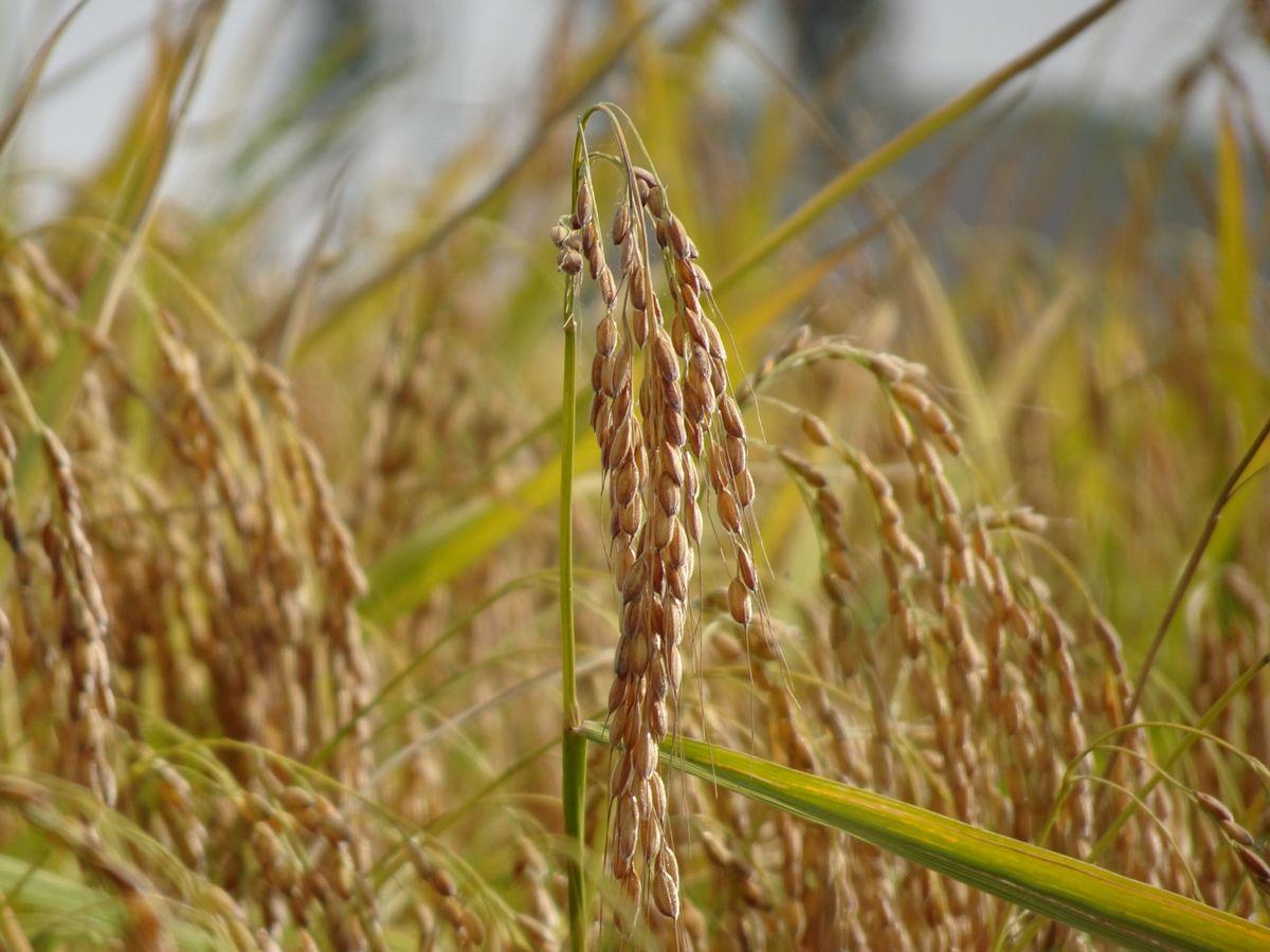 восковидный рис